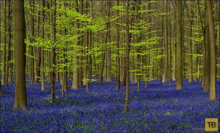 Волшебный колокольчиковый лес в Бельгии (14 фото)