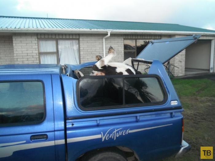 Сбитая корова приземлилась в багажник (4 фото)