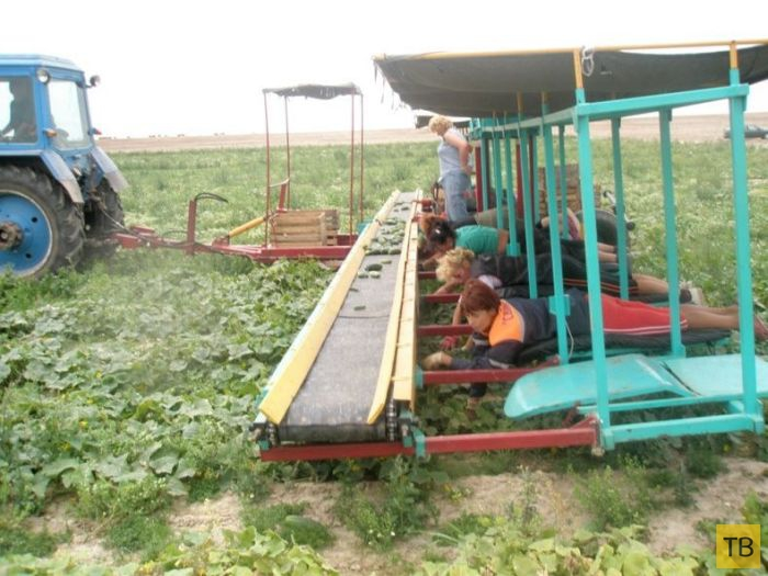 Инновационный белорусский комбайн для сбора огурцов (15 фото)