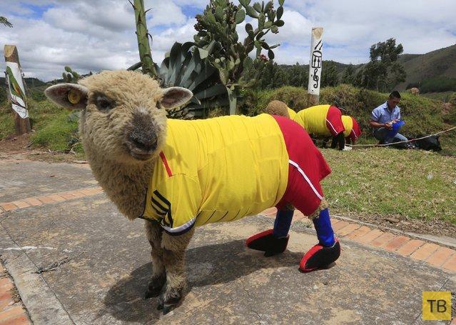 Забавные животные - поклонники футбола (11 фото)