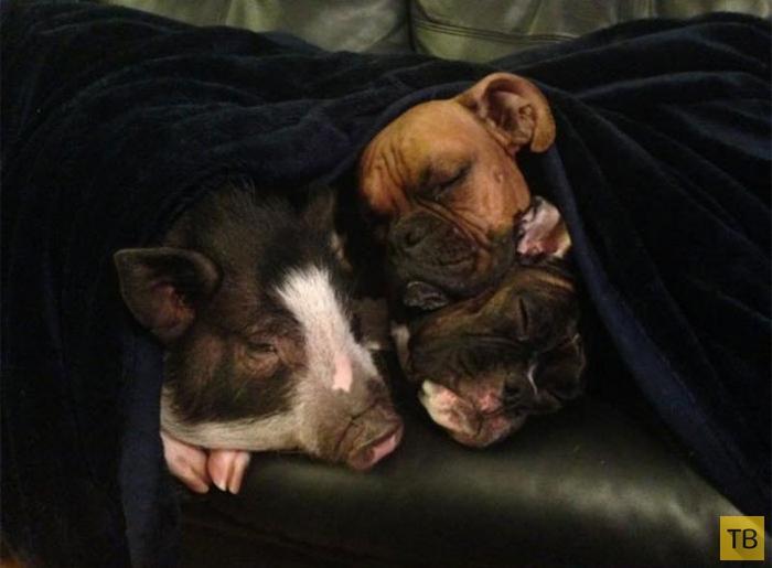 Вирджиния - свинья, которая думает что она собака (5 фото)