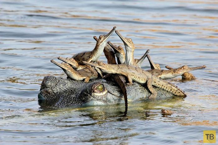 Материнская любовь в мире животных (23 фото)