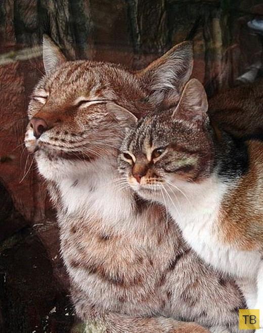 Необычная дружба между рысью и кошкой (4 фото + видео)
