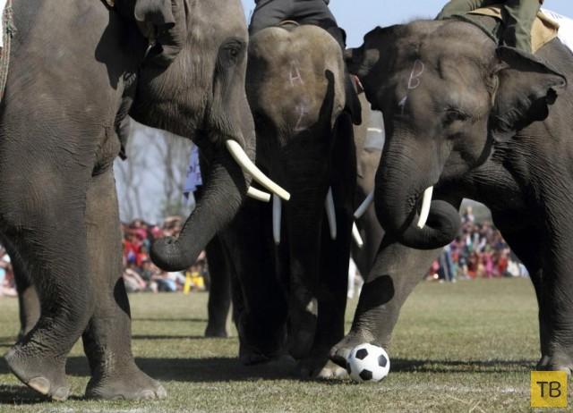 Животные играют в футбол (14 фото)