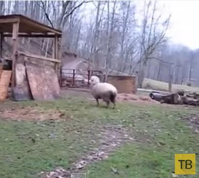 Овца считает себя собакой...