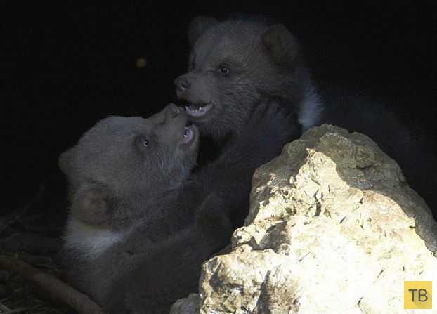 В зоопарке убили отвергнутого родителями медвежонка (11 фото)
