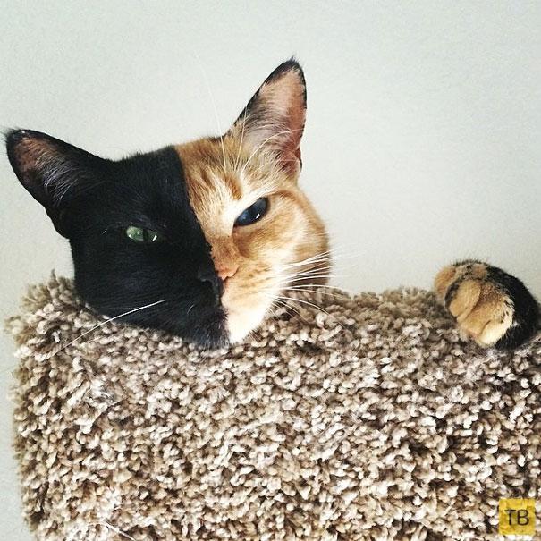 Венера — кошка с двумя лицами (12 фото)
