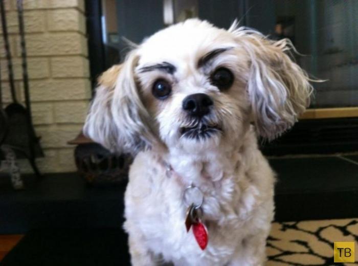 Собаки-бровастики - новая интернет-истерия (18 фото)