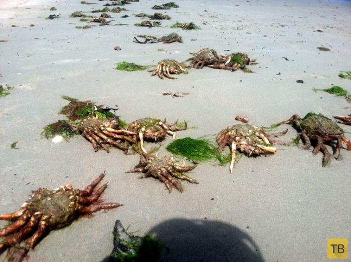 Пляж, усеянный мертвыми крабами (5 фото)