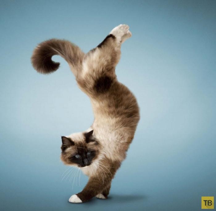 Коты-йоги Дэниэля Борриса (13 фото)