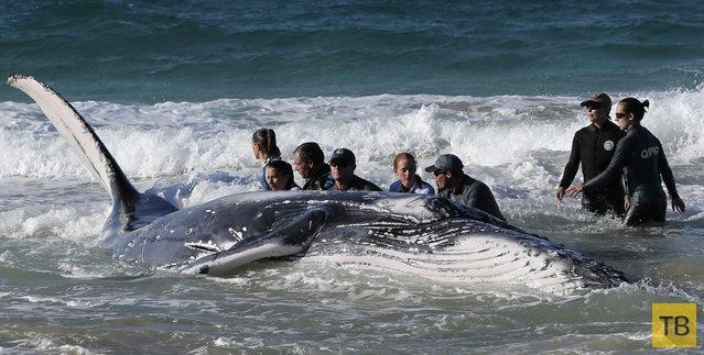 Горбатый кит попал на мель на Золотом побережье в Палм-Бич (8 фото)
