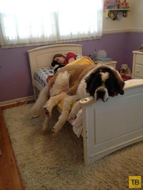 Большие собачки тоже хотят забраться на ручки (16 фото)