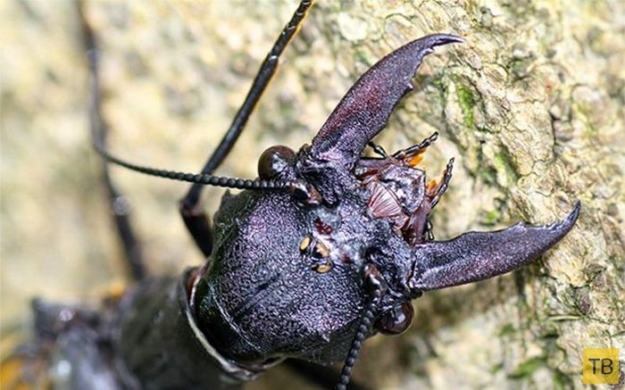 Жуткое насекомое прямиком из ночных кошмаров (5 фото)