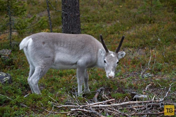 Оуланка — национальный парк в северной Финляндии (9 фото)