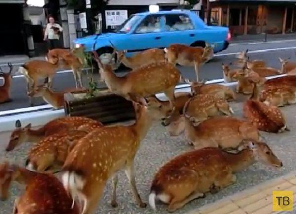 Традиционная летняя тусовка оленей на городской дороге в японском городе Нара (5 фото)