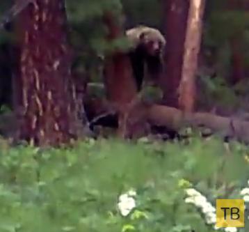 Медведь напал на охотников... Республика Тува