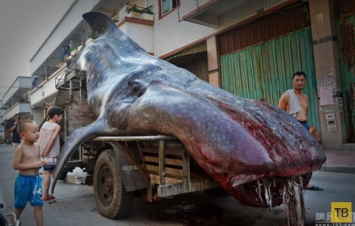 Китайский рыбак поймал китовую акулу (6 фото)