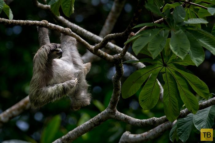 Ленивцы (19 фото)