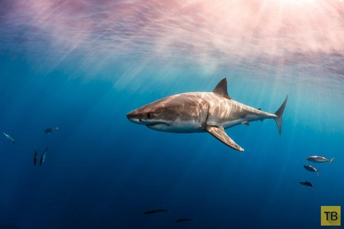 Акулы Тодда Бретля (11 фото)