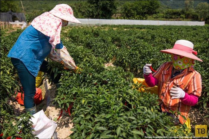 Горячие чилийские перцы и китайские женщины на одной плантации (14 фото)