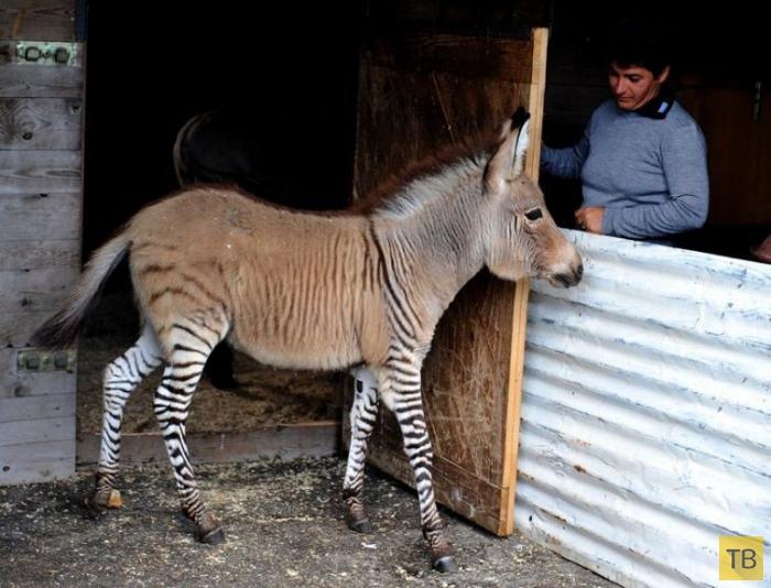 Топ 12: Необычные гибриды животных (15 фото)