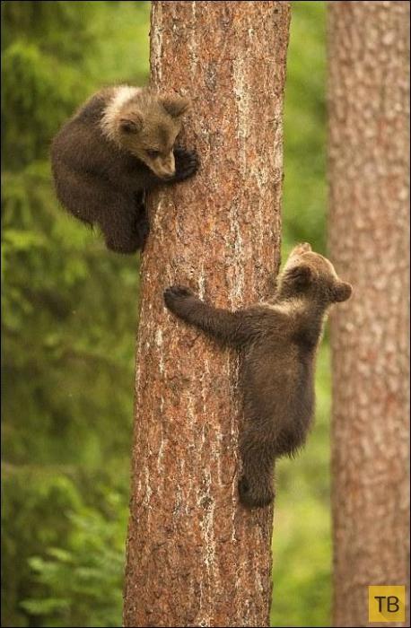 Медвежата шалят пока медведица спит (6 фото)