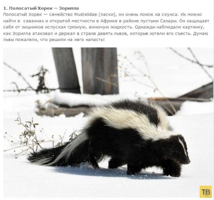 Топ 7: Самые зловонные животные в мире (14 фото)
