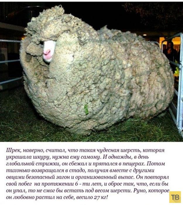 """Необычная история барана по кличке """"Шрек"""" (10 фото)"""
