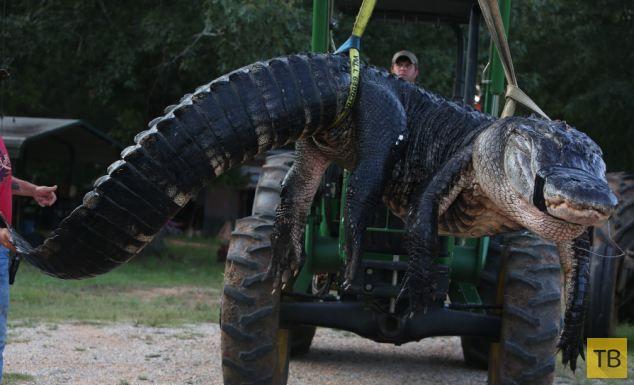 Семья охотников из Алабамы поймала аллигатора-монстра (5 фото)