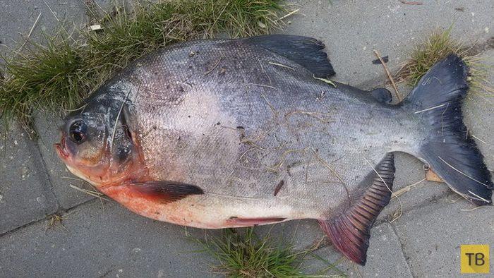 Необычный улов, озадачивший не только рыбака (4 фото)