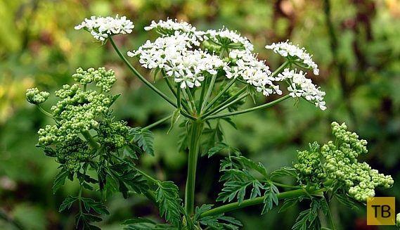 Топ 7: Самые опасные растения России (7 фото)