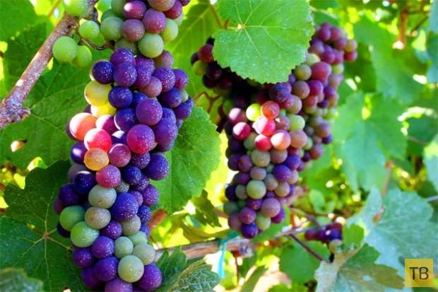 Радужный виноград (3 фото)