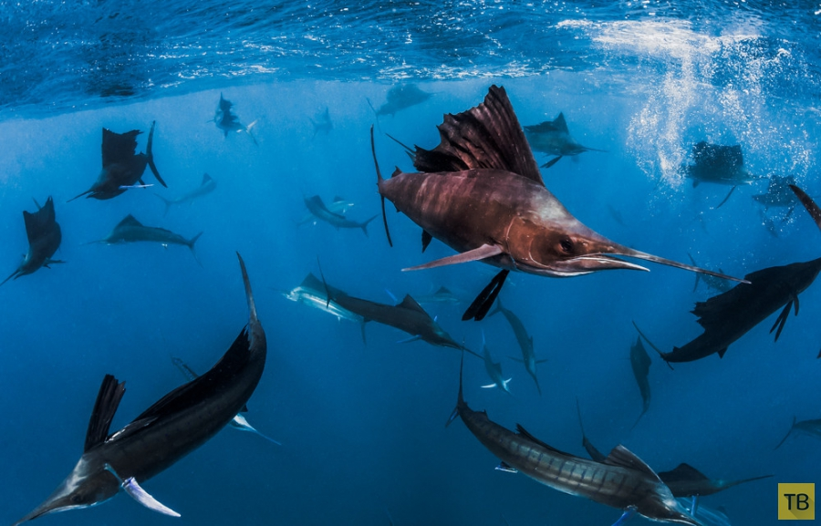 Модель Roberta Mancino плавает с китовыми акулами и другими рыбами (20 фото)