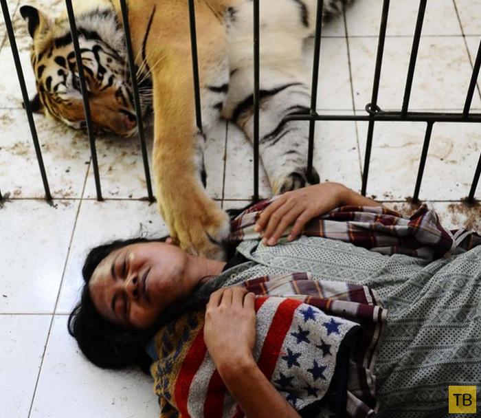 Неразлучные друзья -  бенгальский тигр и человек (10 фото + видео)