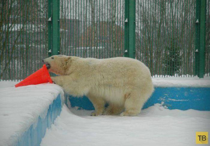 Спасение медвежонка, оставшегося без матери  (13 фото)