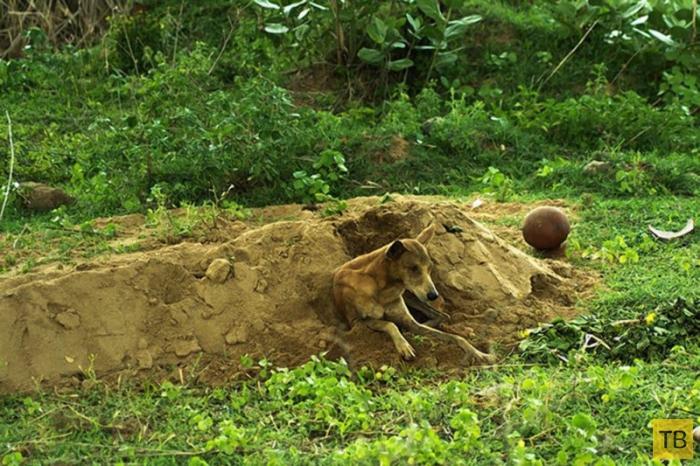 Преданный пес 15 дней просидел на могиле хозяина (4 фото)