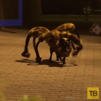 Пранкстеры нарядили собаку в костюм гигантского паука