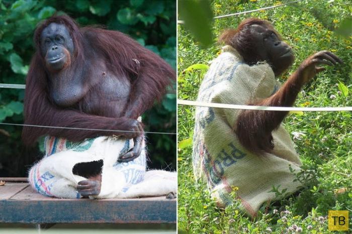 Самка орангутанга поразила посетителей зоопарка, сделав себе платье из мешка (12 фото)