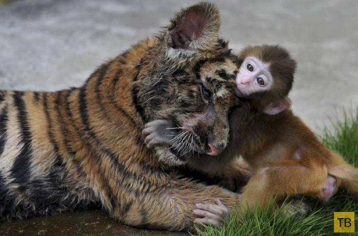 Дружба в животном мире (25 фото)