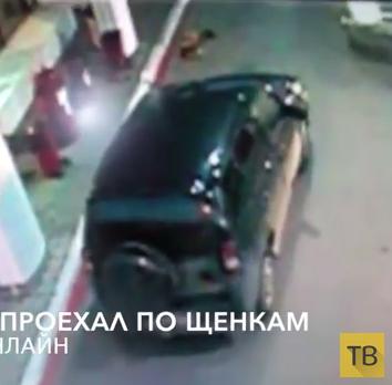 """Водитель """"Шевроле Нива"""" специально проехал по щенкам... ДТП в г. Североморск"""