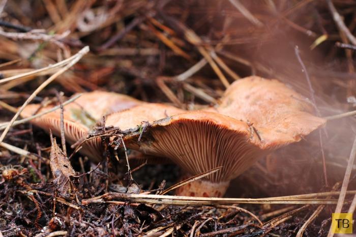 Топ 10: Съедобные грибы, которые водятся в наших лесах (10 фото)