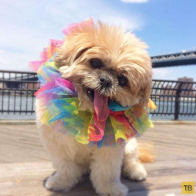 Бездомная собака обрела дом и стала звездой Instagram из-за сходства с Майли Сайрус (13 фото)
