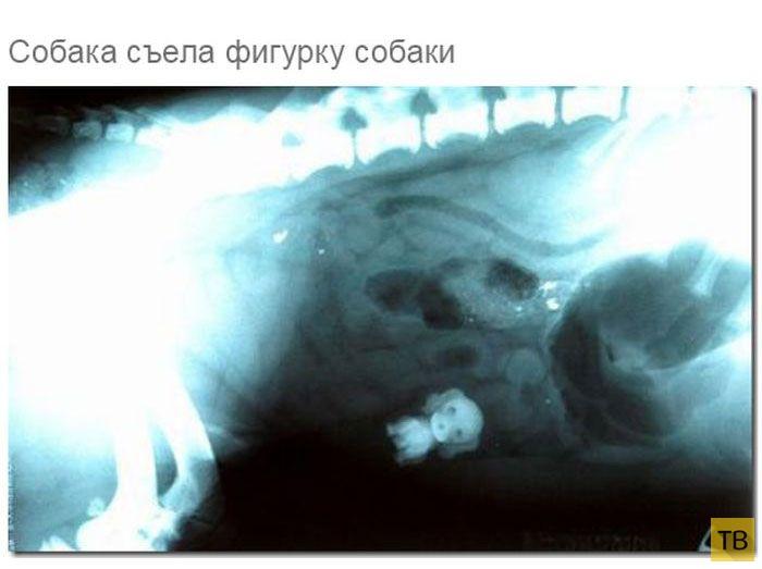 Рентгеновские снимки собак, которые едят всё, что плохо лежит (19 фото)