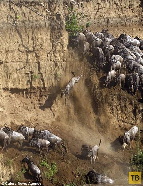 Опасная миграция антилоп Гну в Кении (15 фото)