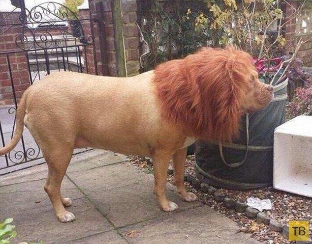 Никто не будет охранять ваш дом лучше льва (2 фото)