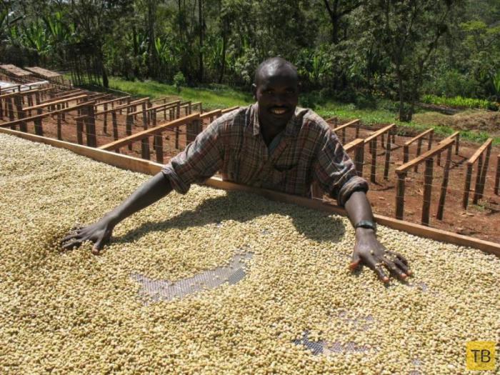 Как выращивают и пьют кофе в Эфиопии (8 фото)