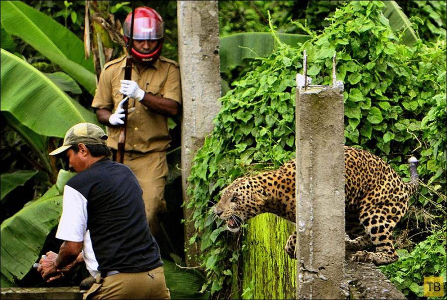 Нападение леопарда на людей в Индии (7 фото)
