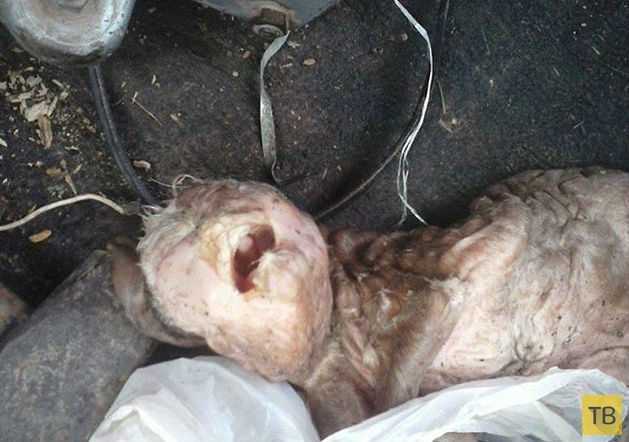 Козлёнок мутант превратил жизнь фермера в ад (4 фото)