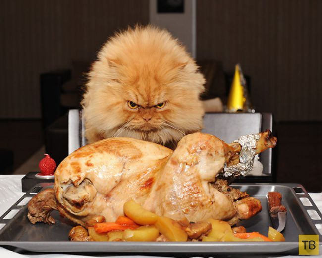 Гарфи - самый сердитый кот в мире (20 фото)