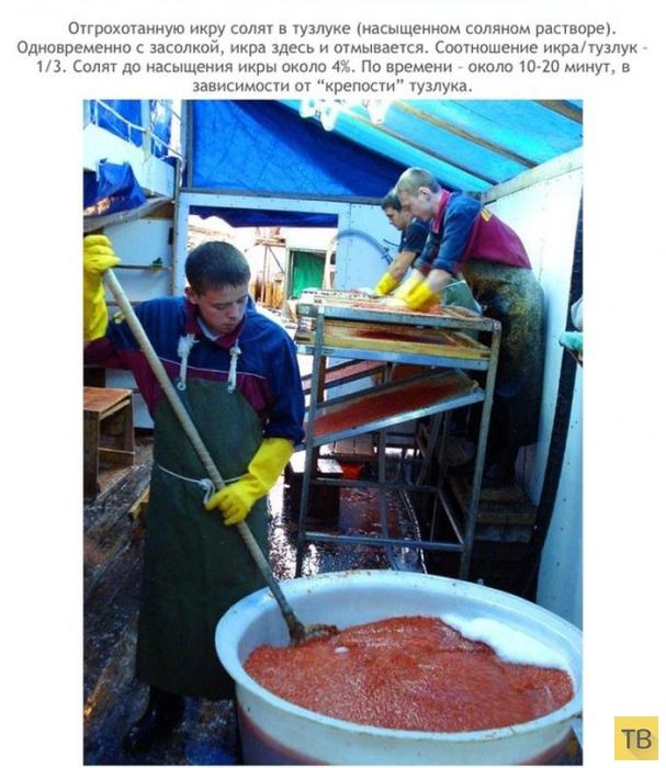 Как добывают красную икру (12 фото)